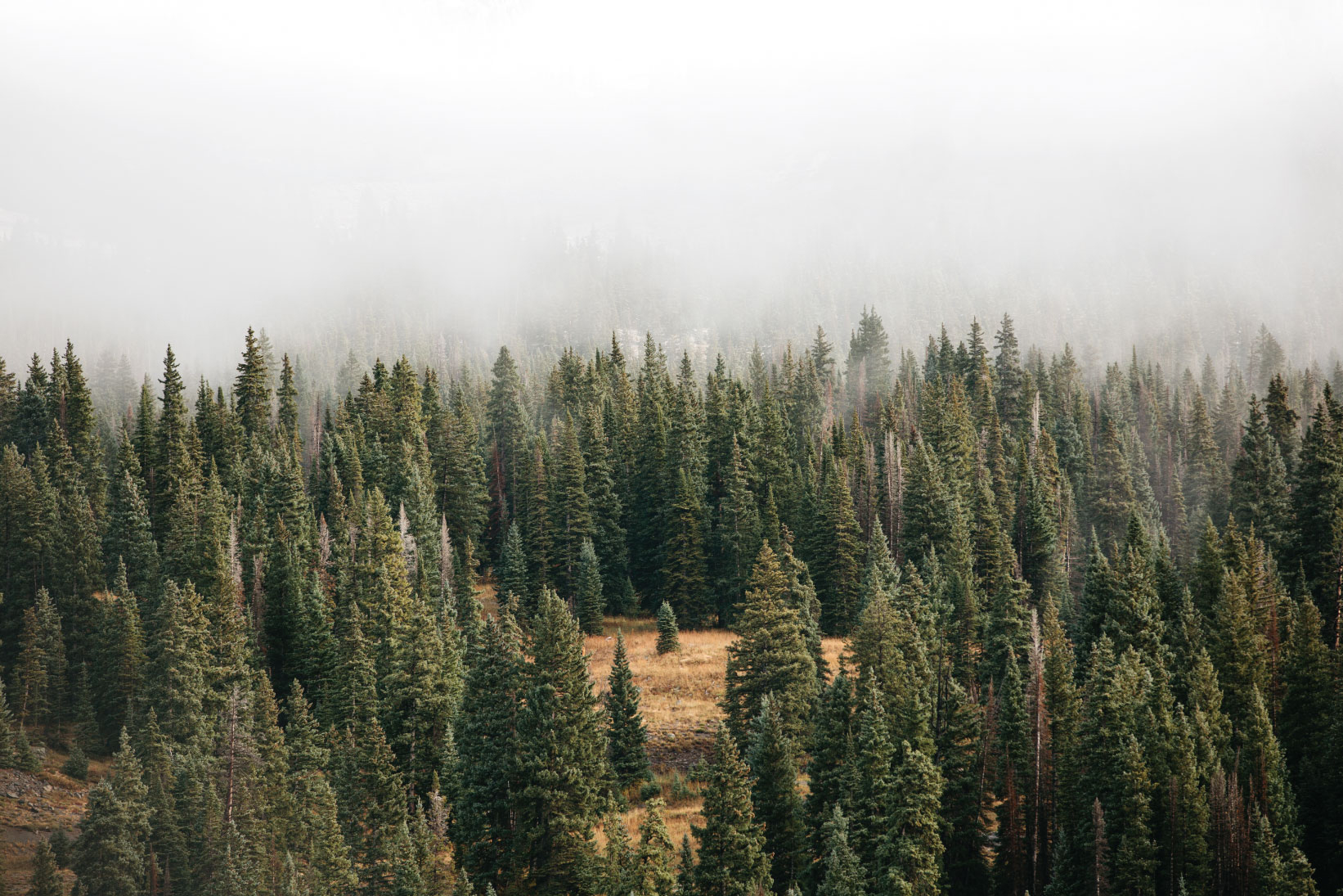 A forest of coniferous trees with fog over the tops of the trees making it difficult to see into the distance.