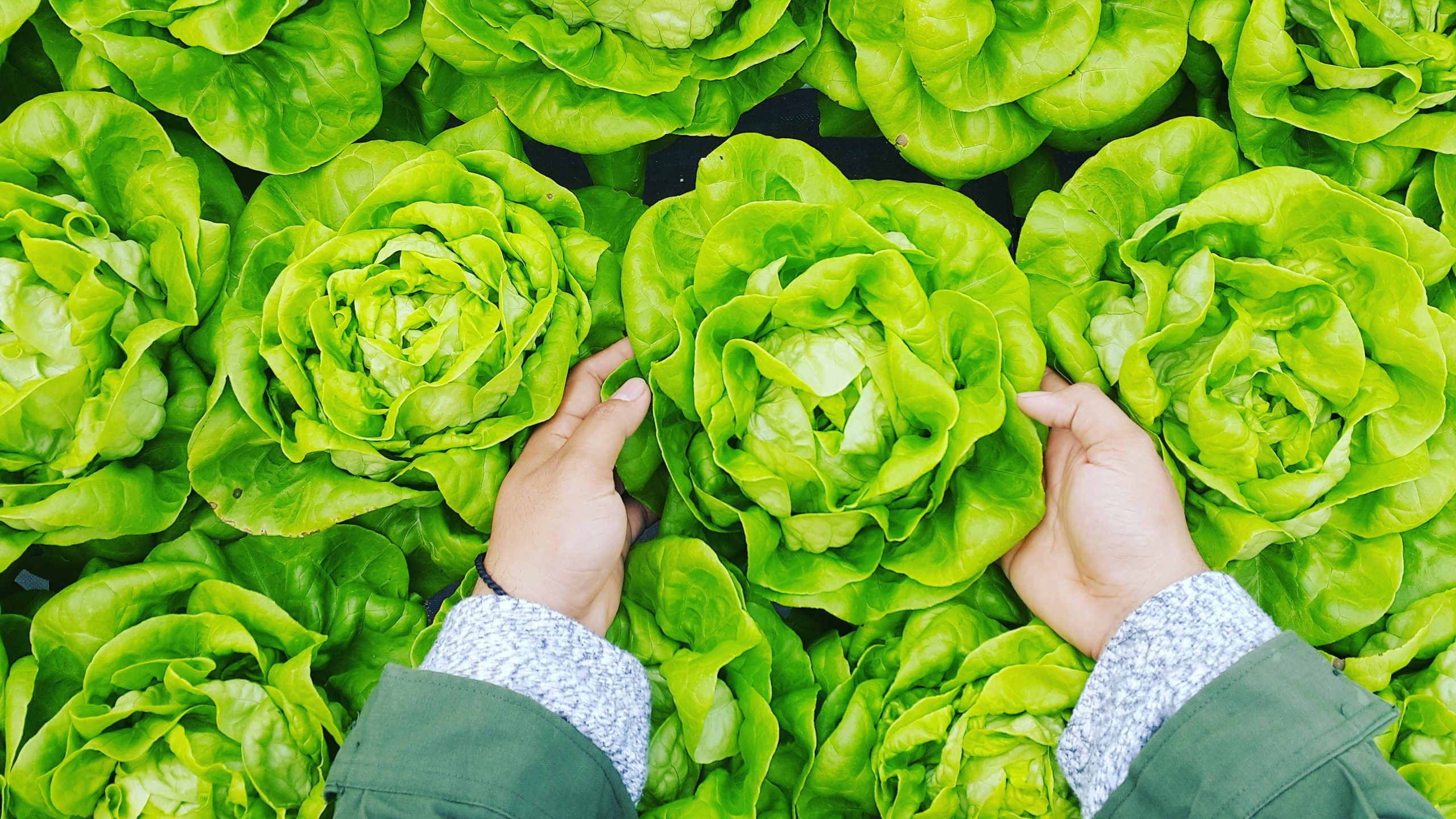 hands picking up a head of lettuce among many heads of lettuce